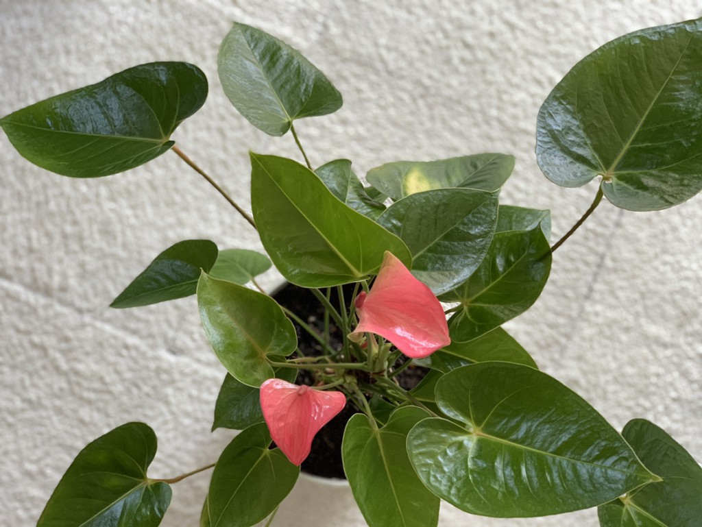 観葉植物にマヨネーズ